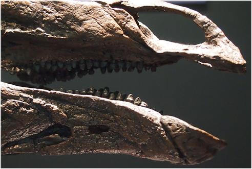 ステゴサウルス、剣竜類の代表は剣竜類の変わり者
