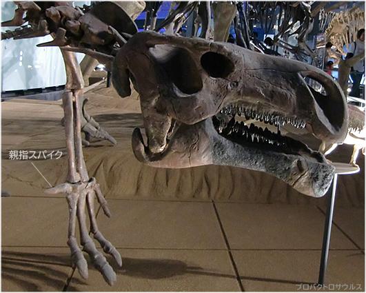 プロバクトロサウルス、ハドロサウルス科の祖先に近い仲間